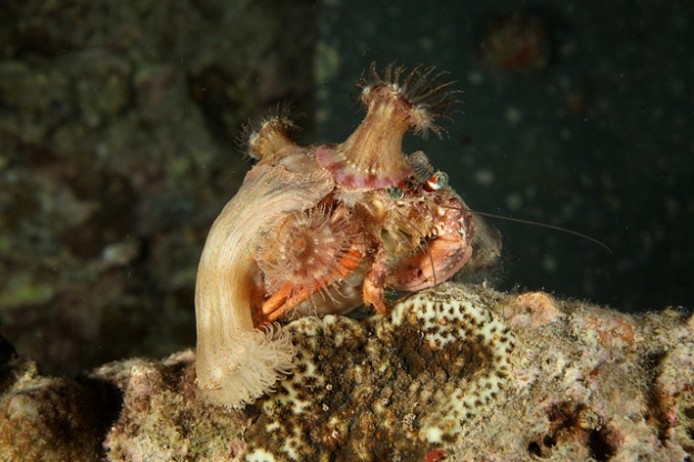 A decorator crab covered in borrowed bling. (Photo by q.phia)